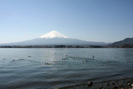2009.04.11 川口湖 鴨