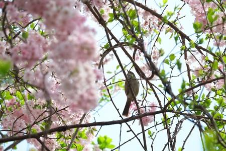 2014.04.14 和泉川 ウグイス