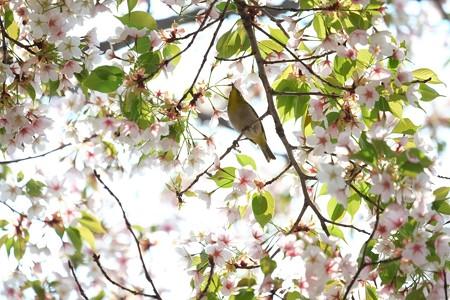 2014.04.14 和泉川 サクラへメジロ