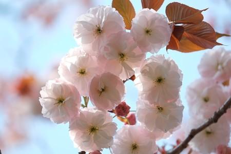 2014.04.17 和泉川 ヤエザクラ