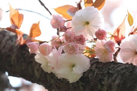 2014.04.17 和泉川 八重桜