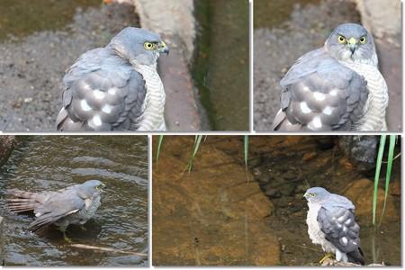 2014.05.20 和泉川 ツミ 水浴び