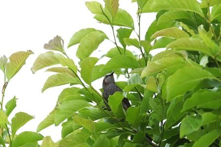 2014.06.10 和泉川 新緑からヒヨドリ
