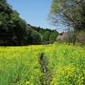 写真: 2017.04.14 里山ガーデン 谷戸の菜の花畑