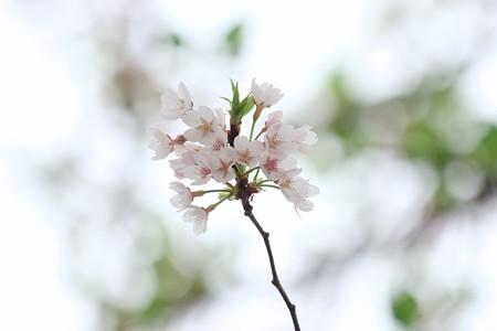 2017.04.21 追分市民の森 サクラ