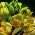 写真: 2017.04.29 瀬谷市民の森 キンラン 開花