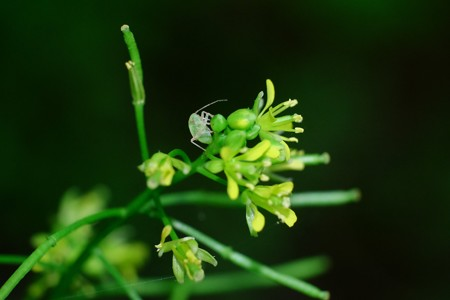 2017.05.11 追分市民の森 ホソエガラシにヨコバイ 幼虫