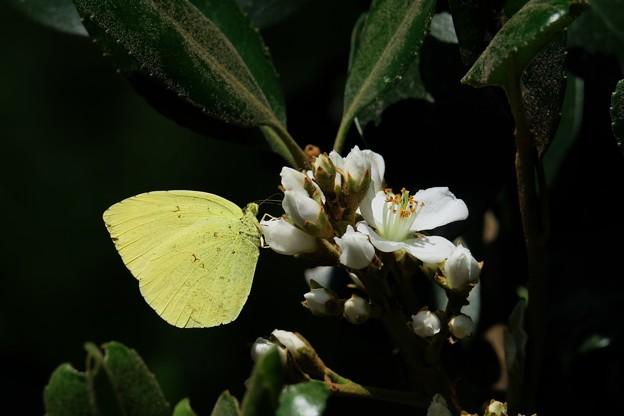 2017.05.18 追分市民の森 ビワに似た花にキチョウ