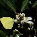 写真: 2017.05.18 追分市民の森 ビワに似た花にキチョウ