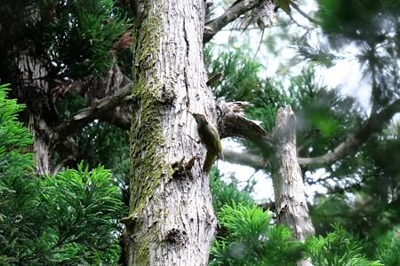 2017.05.28 瀬谷市民の森 アオゲラ