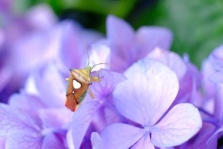 2017.07.05 和泉川 紫陽花にエサキモンキツノカメムシ