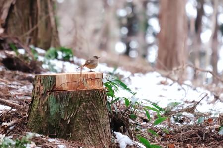 2018.01.28 追分市民の森 切株にジョウビタキ