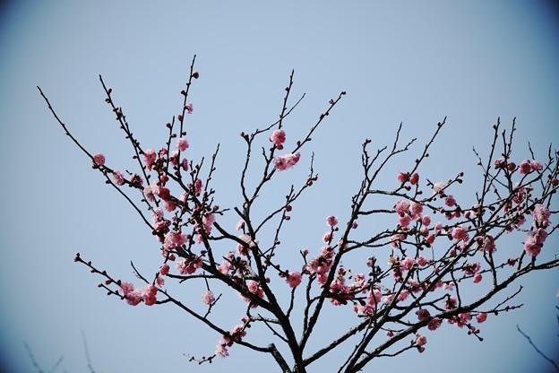 2018.02.24 大池公園 コウバイ