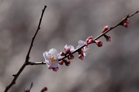 2018.03.03 和泉川 ウメ