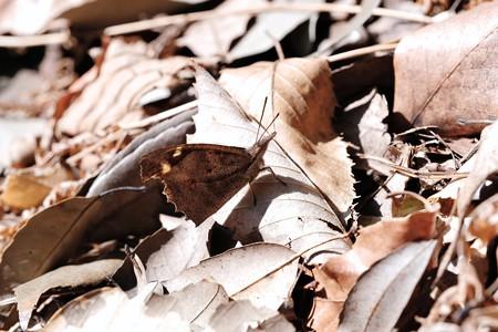 2018.03.04 追分市民の森 枯葉にテングチョウ