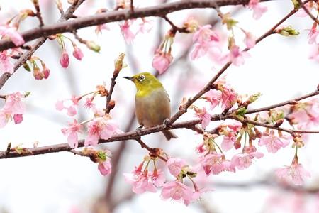 2018.03.10 和泉川 河津桜にメジロ
