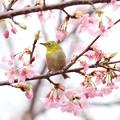 写真: 2018.03.10 和泉川 河津桜にメジロ