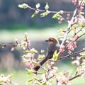 写真: 2018.03.12 和泉川 河津桜でモズ