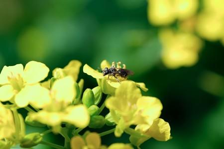 2018.03.13 追分市民の森 菜の花にハバチ