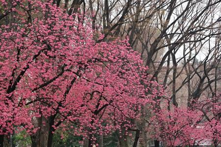 2018.03.16 上野公園 カンヒザクラ
