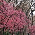 写真: 2018.03.16 上野公園 カンヒザクラ