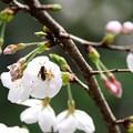 2018.03.24 瀬谷市民の森 サクラサク ミツバチ