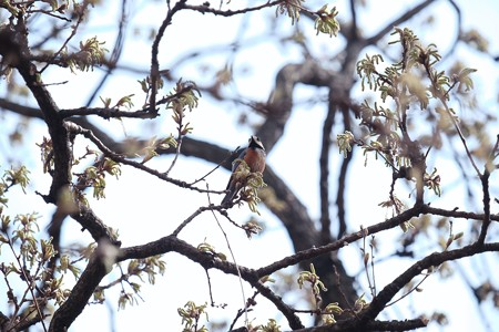 2018.03.27 追分市民の森  クヌギで山雀
