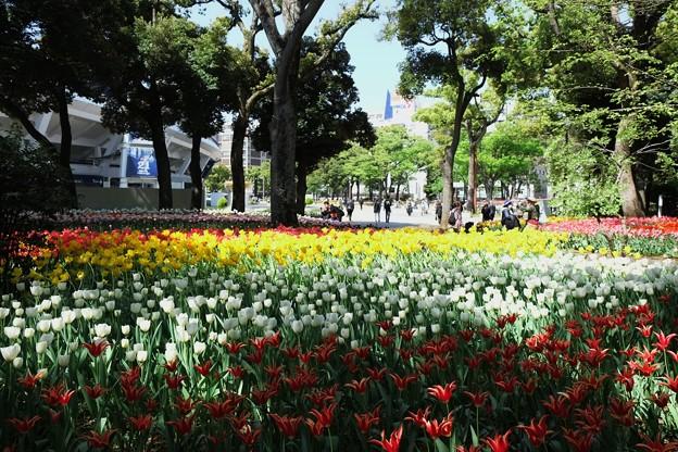 2018.04.09 横浜公園 チューリップ 鬱金香