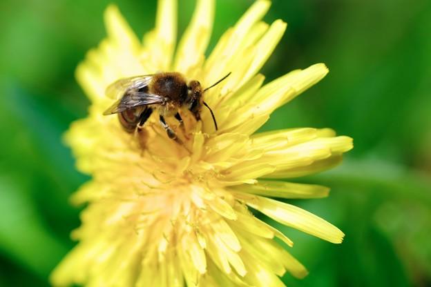 2018.04.12 追分市民の森 蒲公英にミツバチ