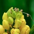 写真: 2018.04.15 瀬谷市民の森 金蘭へクヌギの花落ちて