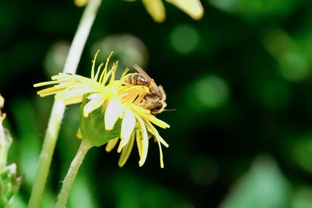 2018.04.16 追分市民の森 蒲公英にミツバチ