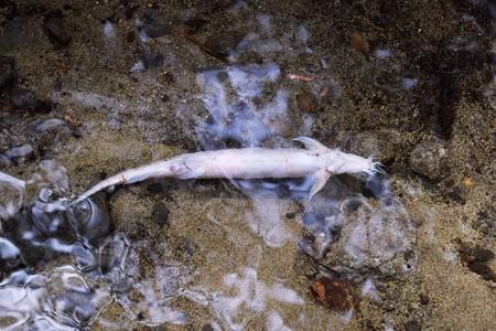 2018.04.30 瀬谷市民の森 源流傍の流れに魚の死骸 フクドジョウ?