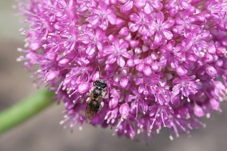 2018.05.11 外交官の家 アリウムに蜜蜂