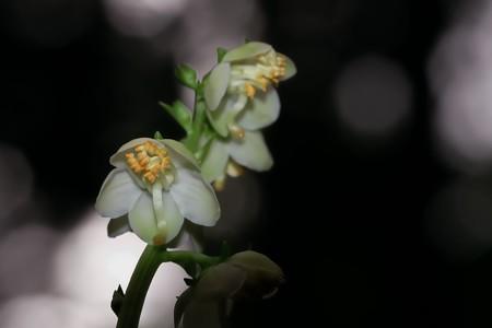 2018.05.23 瀬谷市民の森 イチヤクソウ 初夏