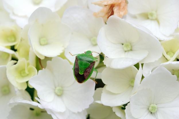 2018.05.24 和泉川 紫陽花にチャバネアオカメムシ
