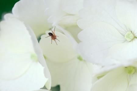 2018.05.28 和泉川 紫陽花と蜘蛛