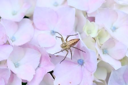 2018.06.08 追分市民の森 紫陽花にササグモ