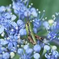 写真: 2018.06.14 追分市民の森 紫陽花にヤマトフキバッタ