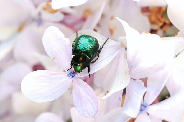 2018.07.18 追分市民の森 紫陽花にヒメスジコガネ