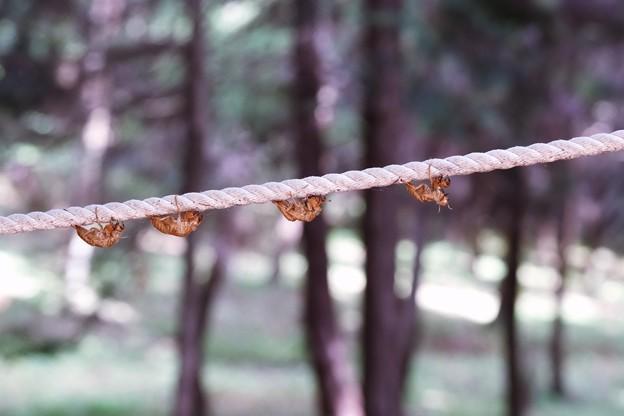 2018.08.15 追分市民の森 手すりロープに 空蝉列