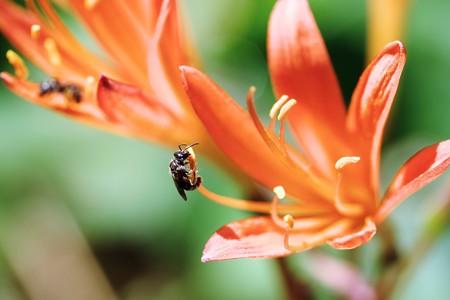 2018.08.18 追分市民の森 キツネノカミソリに小さな蜂