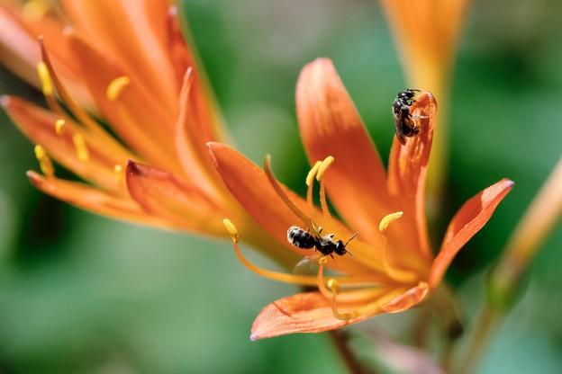 2018.08.18 追分市民の森 キツネノカミソリに小さな蜂2匹