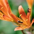 Photos: 2018.08.18 追分市民の森 キツネノカミソリに小さな蜂2匹