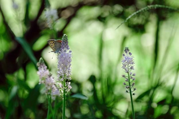 2018.08.27 追分市民の森 ツルボに紅小灰蝶