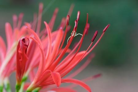 2018.09.12 追分市民の森 彼岸花でコハナグモ