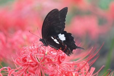 2018.09.22 追分市民の森 ヒガンバナにモンキアゲハ. 赤と黒jpg