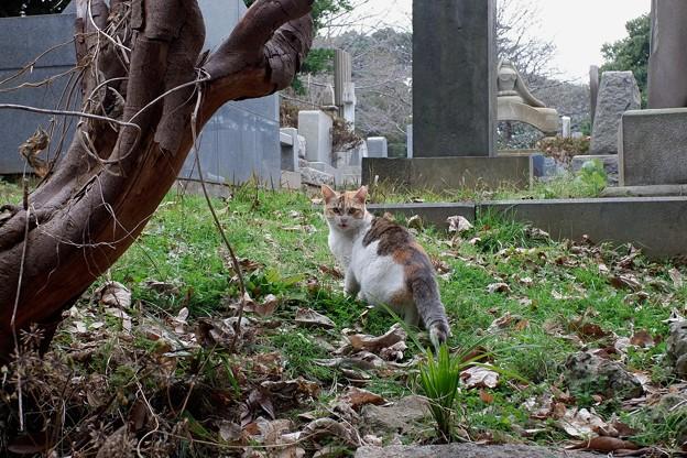 2019.01.20 横浜外国人墓地 ネコ