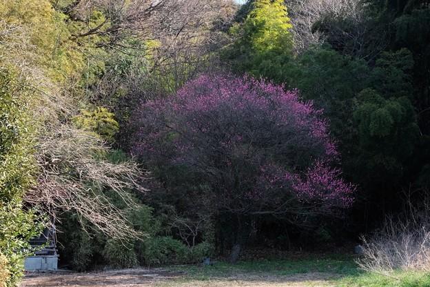 2019.01.23 和泉川 コウバイ 最初に咲く紅梅