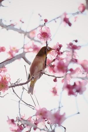 2019.02.04 和泉川 紅梅とメジロ