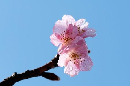 2019.02.07 和泉川 河津桜